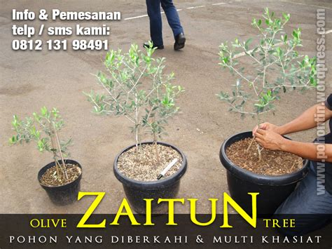 Jual Bibit Pohon Zaitun Jakarta pohon zaitun jual pohon tin 081213198491