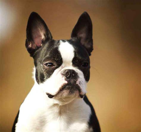 bulldog boston terrier mix puppies boston terrier bulldog mix aka frenchton ultimate home