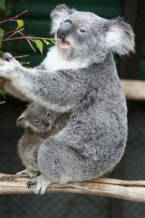 Female Koala Pouch | core recognizing features of koalas