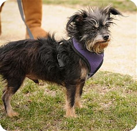 do yorkie chihuahua mix shed yorkie terrierchihuahua mix for sale in mt prospect breeds picture