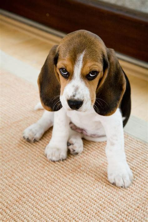 beagle puppy names beagle names for your or cutie