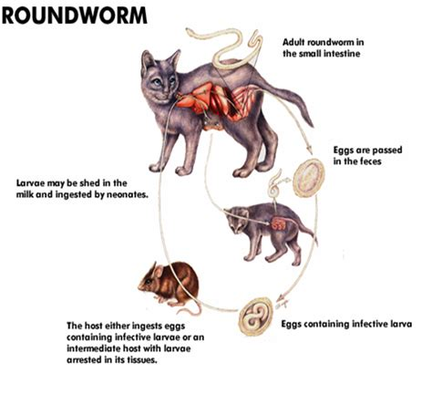 how do dogs get roundworms call of doodie a scooper waste removal company