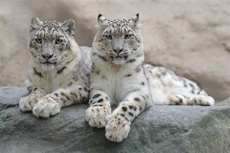 Reset Nvram Snow Leopard | pair of snow leopard with clear rock background hemis