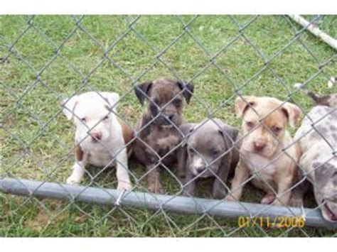 blue merle pitbull puppies for sale american pit bull terrier puppies for sale