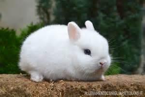 conigli nani alimentazione cucciolo coniglio nano ermellino la stalla dei conigli