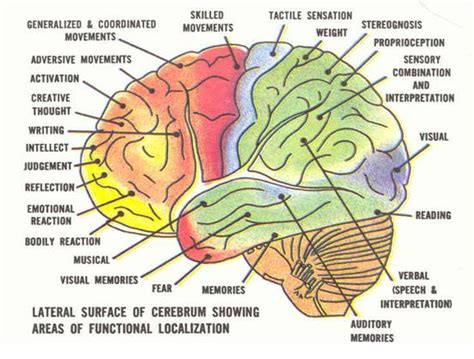 sections of the brain and their functions psychology ms vest s class