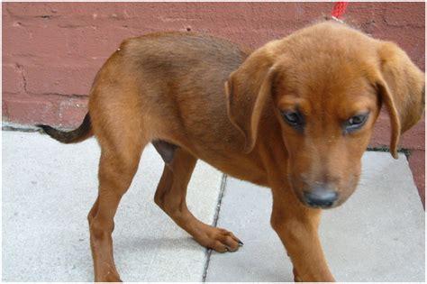 redbone hound redbone coonhound puppies breeders pictures facts animals breeds