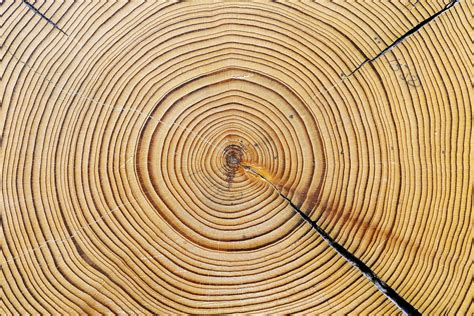 tree ring galleries the daily wildcat
