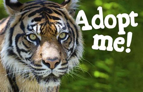 facts about the new year tiger sumatran tiger facts information adelaide zoo
