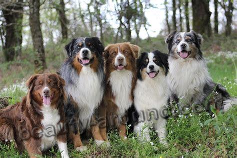 types of shepherd dogs shepherd breeds 45 photos