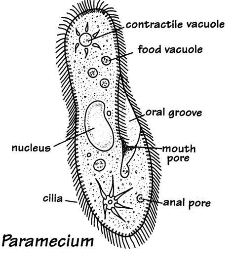 protist diagram 21 best kingdom protista images on cell