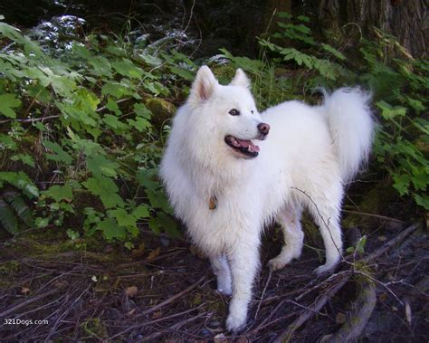 samoyed breed view topic frozen sled racing semi literate chicken smoothie