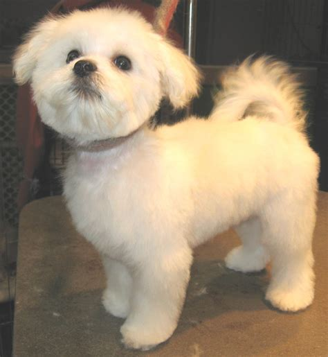 maltese haircut styles pictures maltese haircuts styles pictures here we are maltese