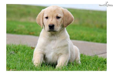 golden retriever breeders edmonton golden retriever puppies for sale in edmonton alberta breeds picture