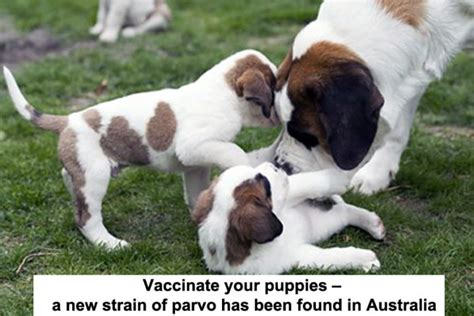 parvo vaccine for puppies vaccinate your puppies a new strain of parvo has been found in australia