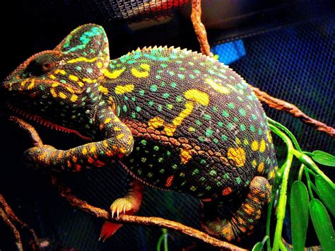 cameleon changing colors veiled chameleon changing colors search