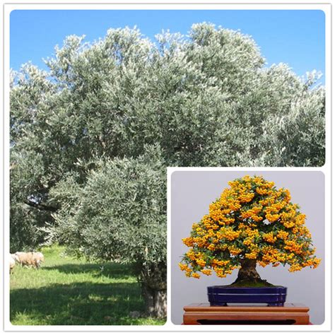 Trees For Sale Cheap - popular seedling trees for sale buy cheap seedling trees