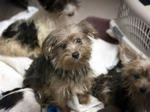 rescue dogs yorkies san diego humane society rescues 100 yorkies from home rex my big dumb
