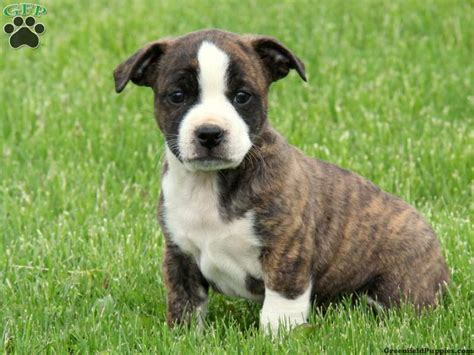boston terrier bulldog mix puppies for sale bulldog boston terrier mix puppies for sale in pa