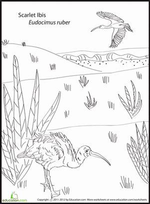 Scarlet Ibis Coloring Page
