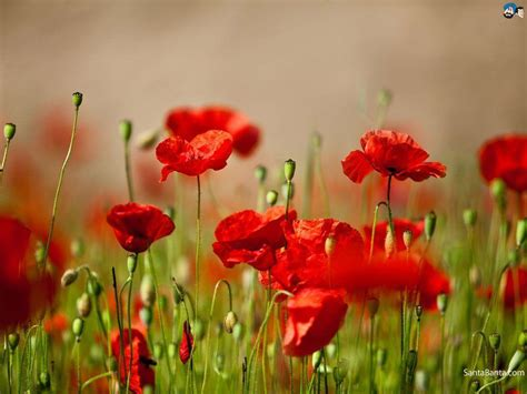 computer wallpaper poppies poppy wallpapers wallpaper cave