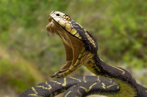 Garter Snake Venom Effects Snake Venom That Turns Blood Into Jelly It Could Save