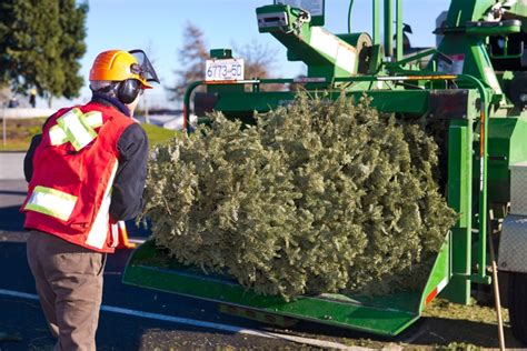 tree chipping christmas tree disposal for delta