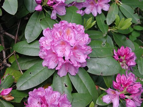 patio rhododendron rhododendron mountain laurels auntie dogma s