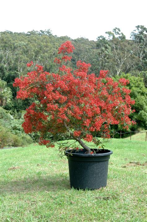australian native trees gardening  angus