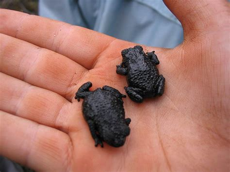 Small Black Black Frogs Flickr Photo
