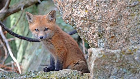 best fox pictures cub high definition wallpapers hd wallpapers