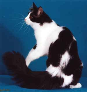 Turkish Angora Cat Info, Personality, Kittens, Pictures