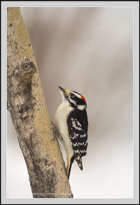 downy woodpecker photo wrangell st elias national park