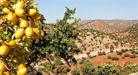 olio argan alimentare photos de l arganeraie