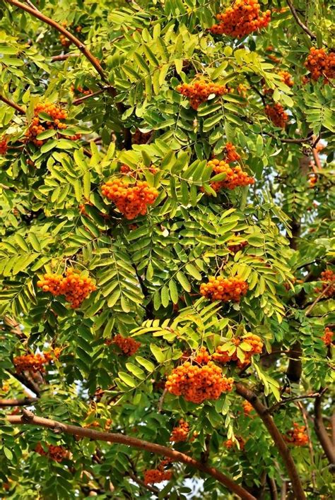 rowan tree with orange berries and green leaves closeup