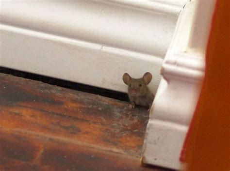 mouse in the house a mouse in the house vigorous times