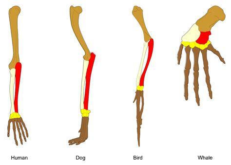 design evolution meaning comparative anatomy wikipedia