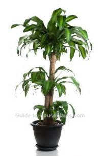 House Planet corn plant care tips dracaena fragrans massangeana