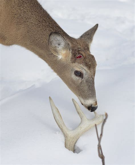 Do Whitetail Deer Shed Their Antlers by Shed Where To Find Whitetail Antlers