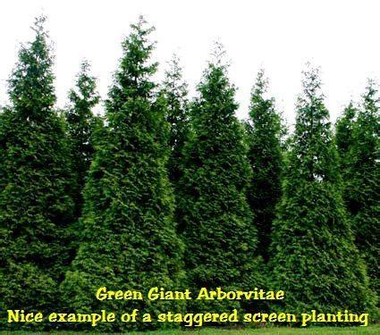 green giant arborvitae thuja