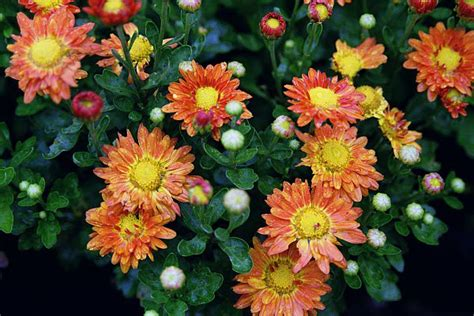 image gallery nasa chrysanthemum air top 15 nasa s plants that can save your life