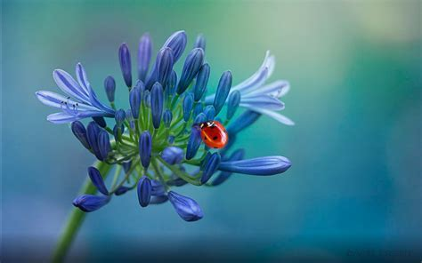 Red Ladybug On A Blue Flower Hd Wallpaper Download For