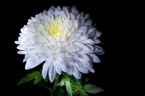 crisantemi in vaso dove piantare i crisantemi pollicegreen