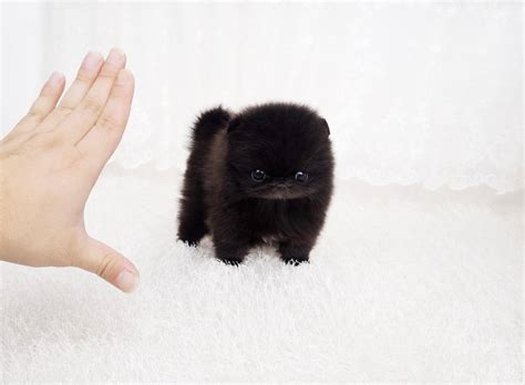 teacup pomeranian adults size black micro teacup pomeranian posh pocket pups