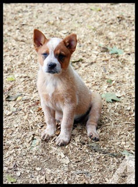 australian cattle dogs for sale american dingo puppies for sale breeds picture