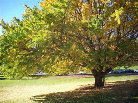 large trees large tree in park free stock photo domain pictures