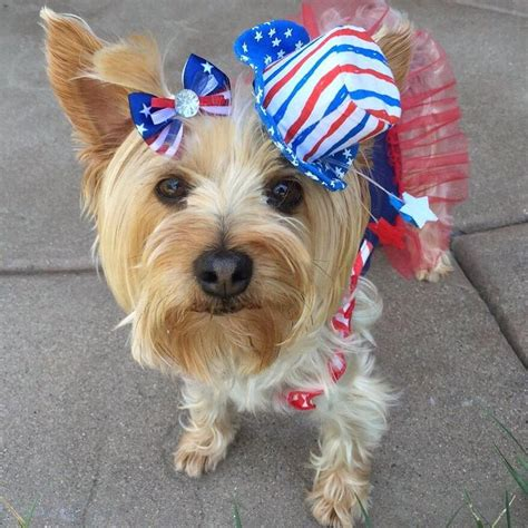 yorkie memorial 120 best images about yorkies terrier daily on happy memorial day