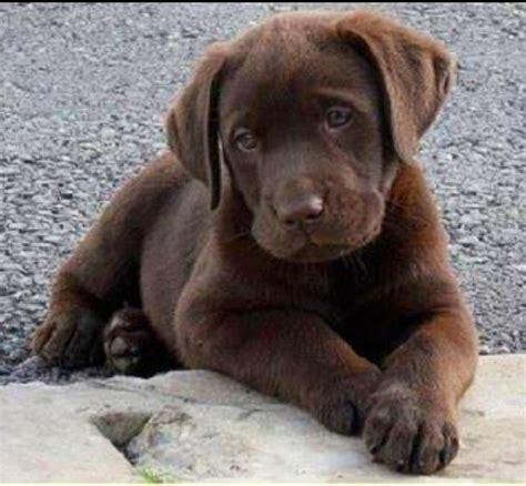 chocolate lab puppies ta chocolate lab i miss mine animals