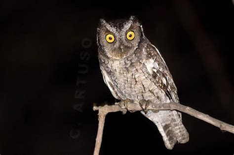 Screech Owl Po Archives - christian artuso birds wildlife october 2010