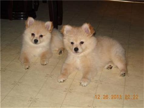 pomeranian and american eskimo pomimo american eskimo pomeranian mix info and pictures